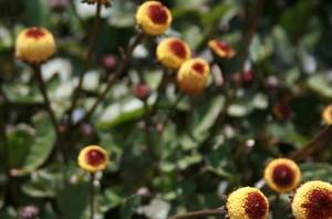 Spilanthes plant natural medicine for canker sores