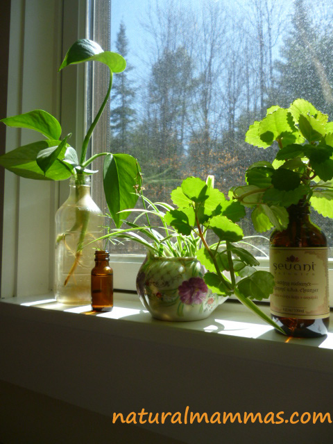 house plant cuttings in a window