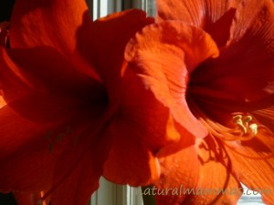 two blooms of an amaryllis